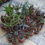 Ma collection d'<em>Aloe</em>
