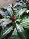 Porphyrocoma pohliana