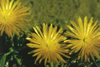 Lampranthus explanatus