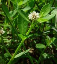Alternanthera philoxeroides
