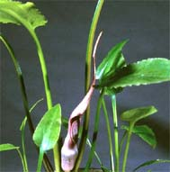 Cryptocoryne ferruginea