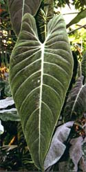 Genre Philodendron