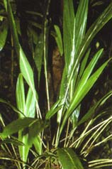 Dypsis beentjei