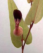 Aristolochia gracilis
