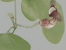 Aristolochia ridicula