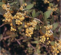 Berberis asiatica