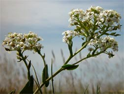 Lepidium cartilagineum