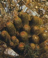 Coryphantha erecta