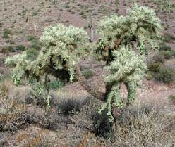 Genre Cylindropuntia