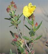 Helianthemum alypoides