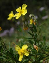 Helianthemum grandiflorum
