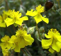 Helianthemum lippii