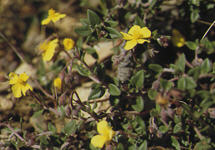 Genre Helianthemum