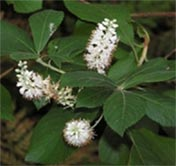 Clethra tomentosa