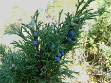 Juniperus pseudosabina