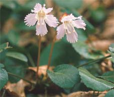 Shortia uniflora