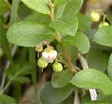 Gaultheria miqueliana