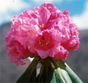 Rhododendron beesianum