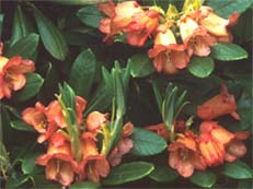 Rhododendron dichroanthum