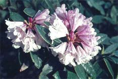 Rhododendron dumicola