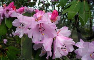 Rhododendron fortunei