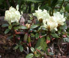 Rhododendron hypenanthum