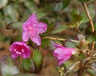 Rhododendron ledebourii