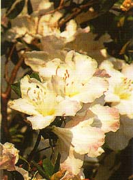 Rhododendron ludwigianum