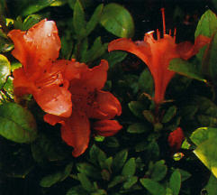 Rhododendron nakaharae