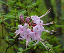 Rhododendron periclymenoides