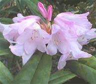 Rhododendron pingianum