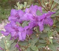 Rhododendron riparioides