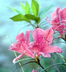 Rhododendron simsii