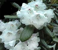 Rhododendron wiltonii
