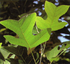 Liriodendron chinensis