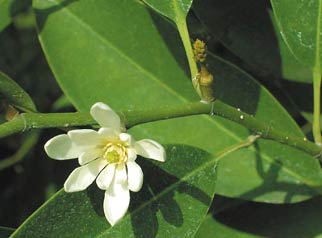 Michelia compressa