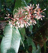 Ardisia costaricensis