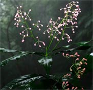 Ardisia filiformis