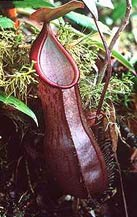 Nepenthes angamensis