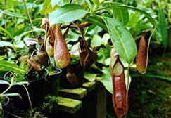 Genre Nepenthes