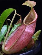 Nepenthes gymnamphora