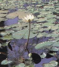 Nymphaea pubescens