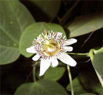 Passiflora indecora