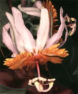 Passiflora pittieri