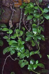 Peperomia abyssinica