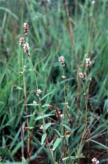 Polygonum careyi