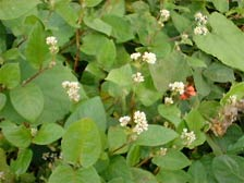 Polygonum chinense