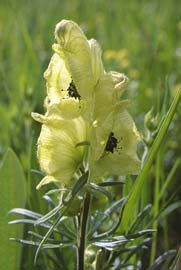 Aconitum anthoroideum