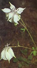Aquilegia fragrans