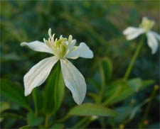 Clematis chinensis